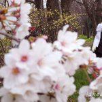 絵理と満開の桜を見に(1)