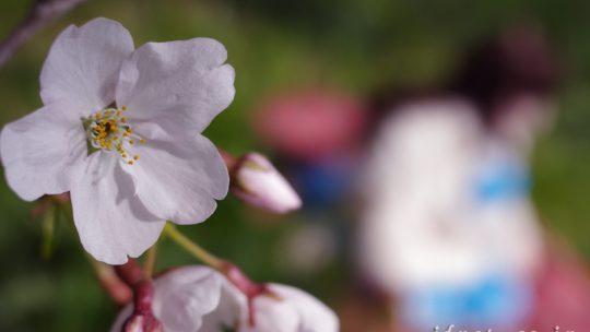 エンジェリックドール奈々と一年ぶりのお花見(2)