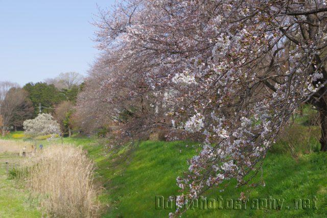 もこちゃんと桜を見に行きましたが・・・